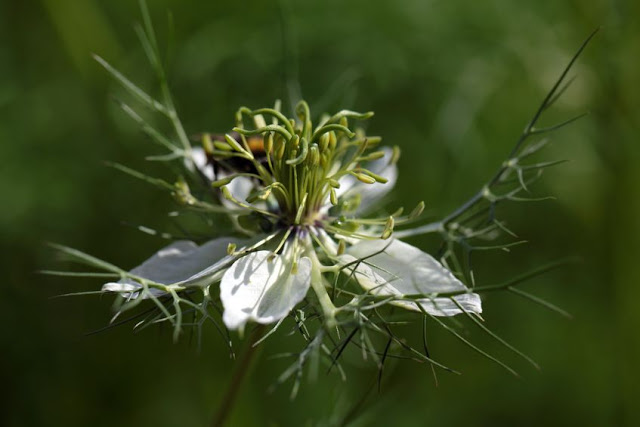 Kwiat czarnuszki - Nigella Sativa